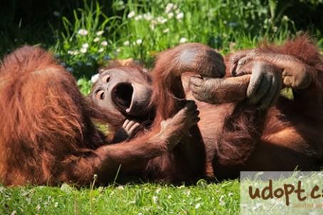 orangutanFB