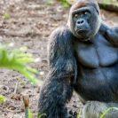 gorilla aspinall foundation