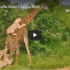 Check Out This Video Of Lions Trying To Take Down A Giraffe
