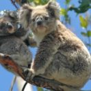 Koalas Are As In Much Danger As Orangutans Says WWF