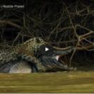 Check Out This FootageOfA Jaguar Taking Down A Crocodilian