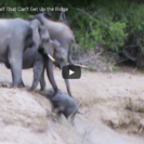 Elephant Calf In Trouble Rescued By Herd
